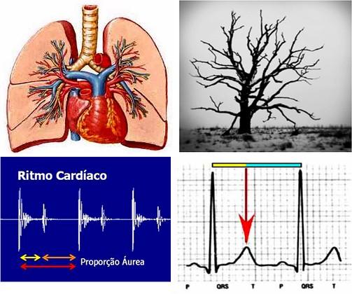 Fibonacci no sistema circulatório e ritmo cardíaco