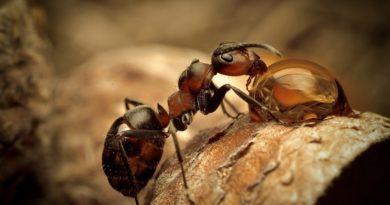 Formigas se comunicam através de protocolo de dados via Internet
