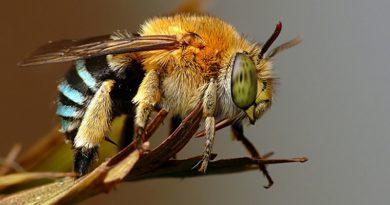 """Abelhas usam """"piloto automático biológico"""" para aterrissar"""