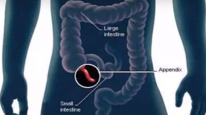 O Apêndice é um órgão vestigial?