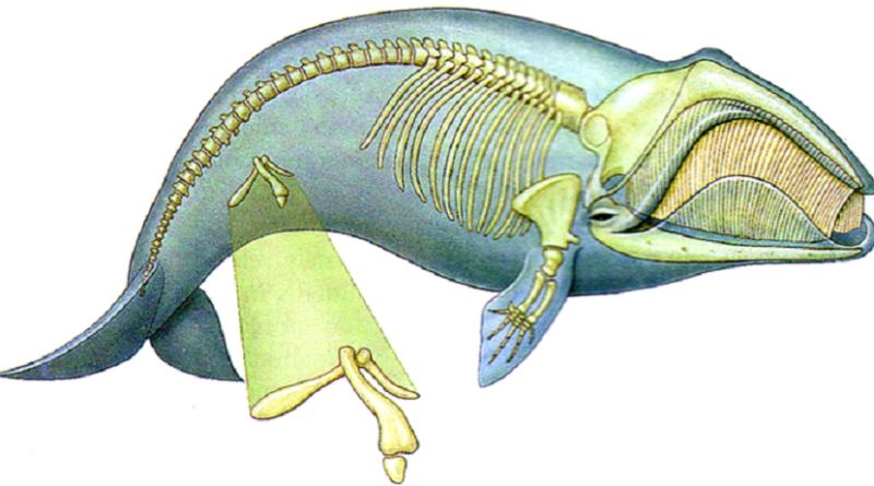 """Os ossos pélvicos em cetáceos são """"pernas"""" vestigiais?"""