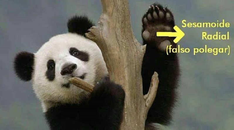 O Design Inteligente no Pseudo-Polegar do Urso Panda