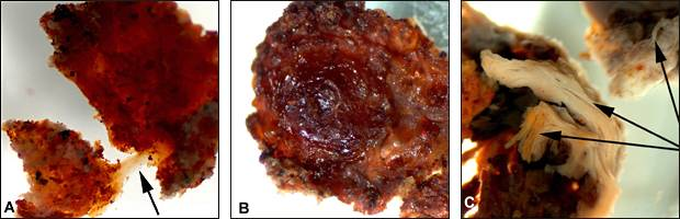 Fragmentos desmineralizados de tecidos que revestem a cavidade da medula de um fêmur Tiranossauro Rex (fonte: goo.gl/p2tWxx)