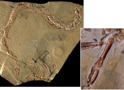 Fóssil da Eupodophis descouensi - imagem fonte: Science