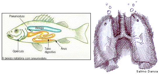 Bexiga natatória de peixes: um precursor do pulmão humano, como diz o evolucionismo?