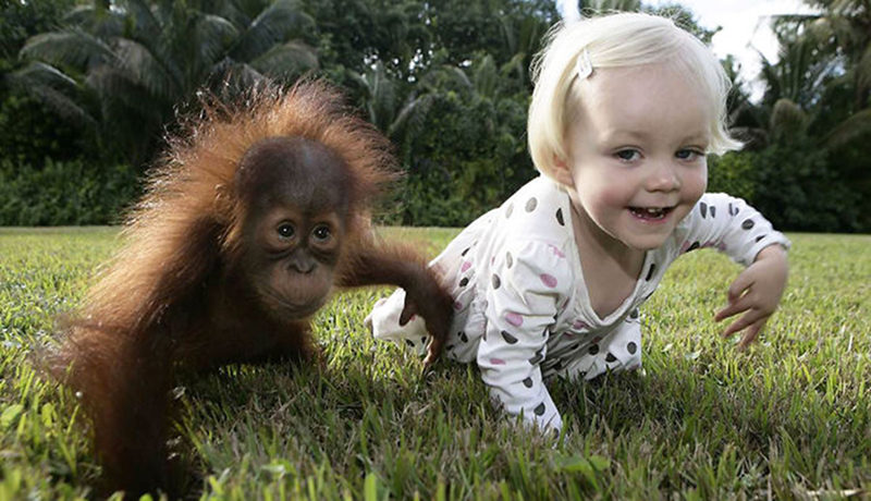 mito dos 99 será que humanos e chimpanzés são tão semelhantes